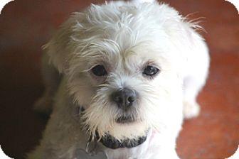 Maltese Mix Dog for adoption in Norwalk, Connecticut - Ficus