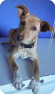 Whippet Mix Puppy for adoption in McIntosh, New Mexico - Filomena