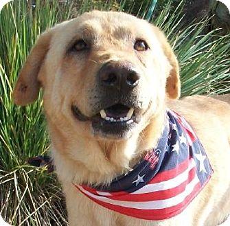 Labrador Retriever/Chow Chow Mix Dog for adoption in Port St. Joe, Florida - Randy