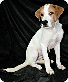St. Bernard/Labrador Retriever Mix Puppy for adoption in Lufkin, Texas - Granger