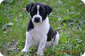 Labrador Retriever Mix Puppy for adoption in Mobile, Alabama - Tate