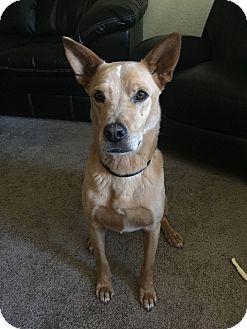 Australian Cattle Dog Mix Dog for adoption in Mesa, Arizona - OLIN 1 YR QUEENSLAND