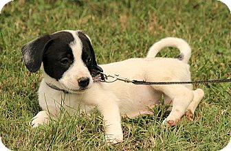 Beagle/Jack Russell Terrier Mix Puppy for adoption in Hagerstown, Maryland - Dooley
