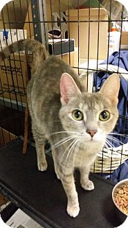 Domestic Shorthair Cat for adoption in Berlin, Connecticut - Emerald