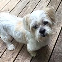 Shih Tzu Mix Dog for adoption in Alpharetta, Georgia - Diamond