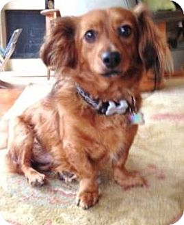 Dachshund Dog for adoption in Forest Ranch, California - LEAF