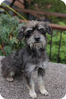 Terrier (Unknown Type, Small) Mix Dog for adoption in West Linn, Oregon - Rocky
