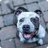 Adopt A Pet :: Gremmie - Des Peres, MO