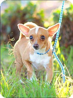 Chihuahua Dog for adoption in Santa Monica, California - TUCKER