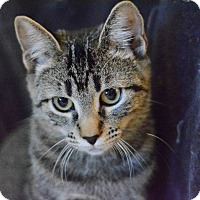 Domestic Shorthair Cat for adoption in West Palm Beach, Florida - Aurora Peppermint