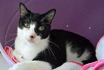 Domestic Shorthair Cat for adoption in Middletown, New York - Bellona