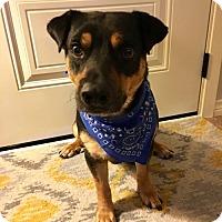Adopt A Pet :: Tyson II - Dallas, TX