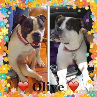 American Bulldog Mix Dog for adoption in West Palm Beach, Florida - Olive