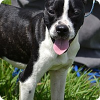 Boston Terrier Mix Puppy for adoption in Okeechobee, Florida - Scooby