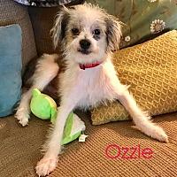Adopt A Pet :: Ozzie - House Springs, MO
