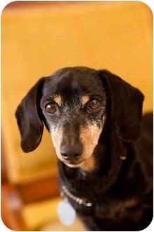 Dachshund Dog for adoption in Portland, Oregon - Elmer