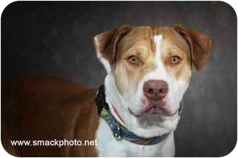 American Pit Bull Terrier Mix Dog for adoption in Walker, Michigan - Casey