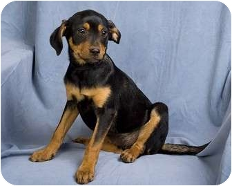 Chihuahua Mix Puppy for adoption in Anna, Illinois - WRANGLER