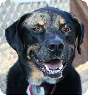 Bernese Mountain Dog/Rottweiler Mix Dog for adoption in Berea, Ohio - Mohawk