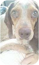 Beagle/Coonhound Mix Dog for adoption in Proctorville, Ohio, Ohio - Rusty