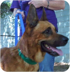 German Shepherd Dog Dog for adoption in Baltimore, Maryland - Rolo
