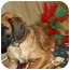 Photo 4 - Great Dane/Labrador Retriever Mix Puppy for adoption in FOSTER, Rhode Island - BLONDIE