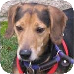 Dachshund/Beagle Mix Dog for adoption in Eatontown, New Jersey - Saint