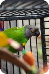 Poicephalus (including Senegal and Meyer's) for adoption in Hubertus, Wisconsin - Mr. Green Jeans