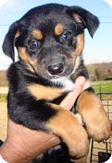 German Shepherd Dog/Husky Mix Puppy for adoption in Oswego, Illinois - I'M ADPTD Hts Ltr Ly Brn Mahon