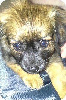 Pekingese/Chihuahua Mix Puppy for adoption in Glastonbury, Connecticut - Lola