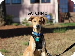 "German Shepherd Dog/Basset Hound Mix Puppy for adoption in Alpharetta, Georgia - Joe Satriani ""Satchmo"""