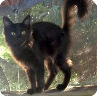Domestic Longhair Cat for adoption in Concord, North Carolina - Braveheart