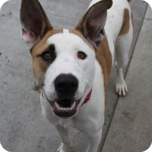 Akita Mix Dog for adoption in Naperville, Illinois - Bentley