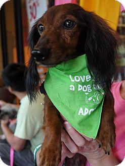 Dachshund Dog for adoption in Baton Rouge, Louisiana - Crimson