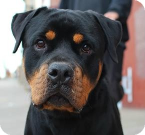 Rottweiler Mix Dog for adoption in Brooklyn, New York - Kong
