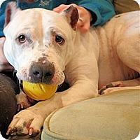 Pit Bull Terrier Mix Dog for adoption in White Plains, New York - Penelope