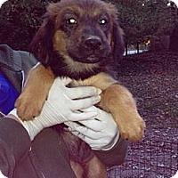Adopt A Pet :: Bernadette - New Boston, NH