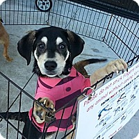 Adopt A Pet :: Alyssa - Miami, FL