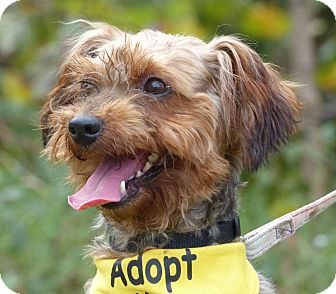 Yorkie, Yorkshire Terrier Mix Dog for adoption in Bowie, Maryland - Adopted! Kol