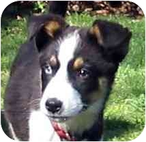 Australian Shepherd Mix Puppy for adoption in Blacksburg, Virginia - Sprite
