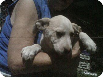 Hound (Unknown Type) Mix Puppy for adoption in Evensville, Tennessee - Ajax