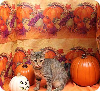 Domestic Shorthair Kitten for adoption in Stockton, California - Romper