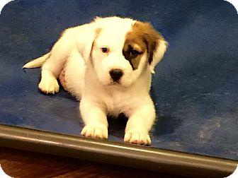 St. Bernard/Golden Retriever Mix Puppy for adoption in Memphis, Tennessee - ERNIE