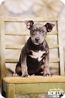 Pit Bull Terrier/Australian Cattle Dog Mix Puppy for adoption in Portland, Oregon - Janelle
