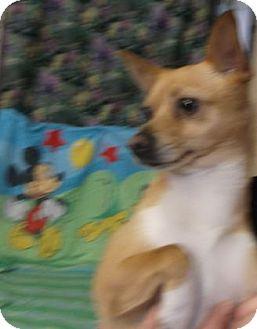 Chihuahua Mix Dog for adoption in Rapid City, South Dakota - Gizmo