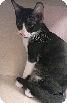Domestic Shorthair Kitten for adoption in Sedona, Arizona - Arrow