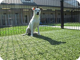 Jack Russell Terrier Mix Dog for adoption in Cumming, Georgia - Hank