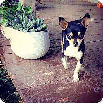 Chihuahua Mix Dog for adoption in Yuba City, California - Jack