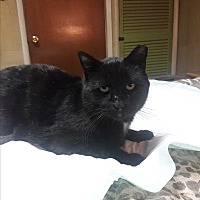 Adopt A Pet :: ASHER/ lap cat/ FIV+ lover boy - Bryn Mawr, PA