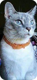 Siamese Cat for adoption in granite falls, North Carolina - Hope